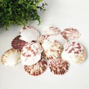 Ракушки Гребешок морской
